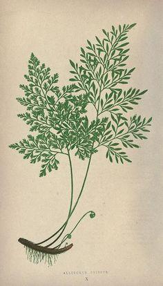 Botanical illustration from Biodiversity Heritage Library