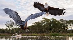 Goliath herons are solitary foragers and are highly territorial towards others entering their feeding territories, while African fish eagles swoop into the water from a perch