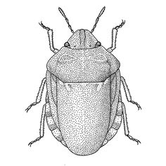 The two Eurygaster species are fairly large shieldbugs and belongs to the Family Scutelleridae.