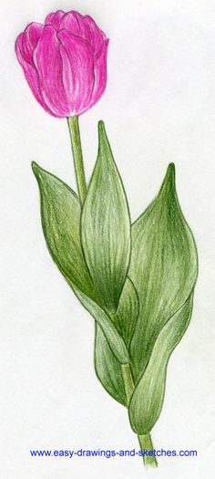 how to draw tulip flowers 02