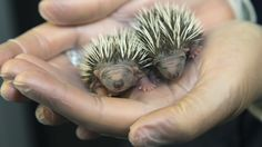 How 2 baby hedgehogs are getting a second chance after a prickly start