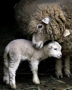 Momma sheep with lamb - G-ttes Wunderbare Schöpfung - Animal world Happy Animals, Cute Baby Animals, Animals And Pets, Funny Animals, Jungle Animals, Mother And Baby Animals, Beautiful Creatures, Animals Beautiful, Baby Lamb