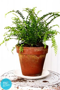 Lemon Button Fern Nephrolepis Cordifolia Indoor
