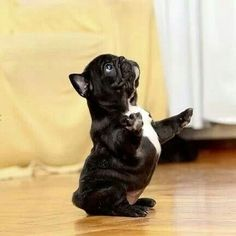 Baby French bull dog! Oh my, cute overload! by Mix and Post