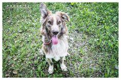 Ashen pies do adopcji ze Schroniska w Koninie
