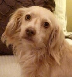 John Wayne - 15 pounds is an adoptable Cavalier King Charles Spaniel Dog in Watertown, CT.  John Wayne is about 3 years old and 15 pounds. He is a beautiful boy! He is fostered with cats and dogs a...