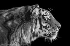 TIGER PROFILE by Wolf Ademeit, via 500px