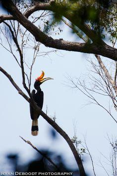 A hornbill bird in Gunung Leuser National Park, Indonesia, first week of February