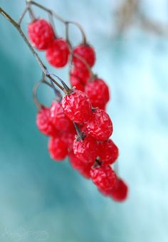 Red Winter Berries against the turquoise sky