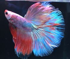 Imported HM BIG Male Live Betta Fish and a RAINBOW OF COLOR!!! | eBay