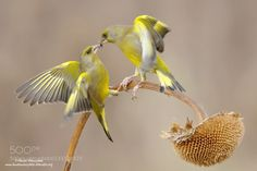 European greenfinch - Pinned by Mak Khalaf Animals European greenfinchbirdsnaturenature photographwildlife by hawksnaturphoto