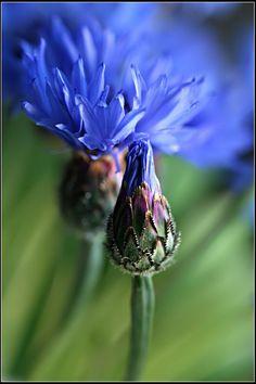 Cornflower...Bachelor Button (1) From: Bede Chuda Pinger, please visit