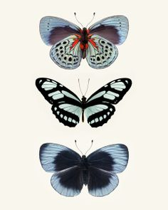 Three Blue Butterflies