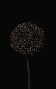 Allium by Bettina Güber: Allium by Bettina Güber