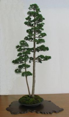 Bonsai is a great form of gardening for city dwellers, but not many species are adapted to live indoors. Indoor Bonsai Tree, Bonsai Plants, Bonsai Garden, Garden Trees, Trees To Plant, Bonsai Trees, Juniper Bonsai, Interior Garden, Diy Décoration