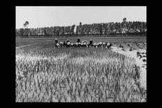 "Ecco le #Mondine delle Risaie in Lomellina - The ""mondine"" from the Lomellina #rice paddies by Studio Chiolini #Expo2015 #ClusterExpo #Riso"