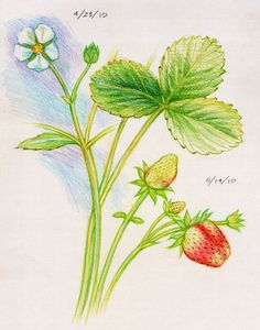 Waldorf ~ 5th grade ~ Botany ~ Strawberry ~ main lesson book