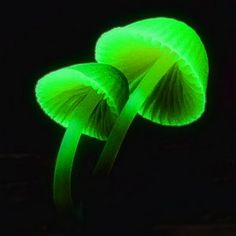 Mycena_fake_bioluminiscense.jpg (320×320)
