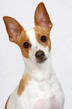 6. Rat terrier