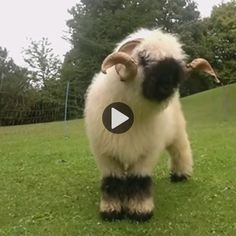 Check out this video as Arthur, a Valais Blacknose sheep, struts his stuff and exhibits the cuteness of this heritage breed. Baby Farm Animals, Baby Sheep, Cute Sheep, Zoo Animals, Animals And Pets, Cute Animals, Valais Blacknose Sheep, Sheep Face, Fluffy Cows