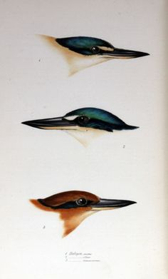 Kingfishers: Halcyon sanctus; Halcyon collaris; Halcyon cinnamominus - From: 'A synopsis of the birds of Australia, and the adjacent islands' (1838) Part III. by John Gould  From: 'A synopsis of the birds of Australia, and the adjacent islands' (1838) Part III. by John Gould