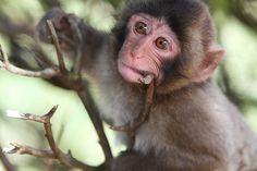 Japanese monkey: photo by kamomebird, via Flickr
