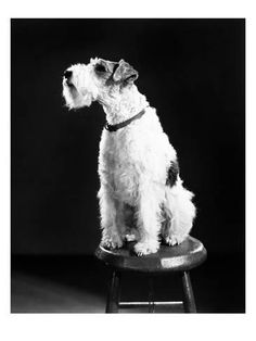 Star of The Thin Man Series Starring as Mr. Atlas, the Ectoplasmic Pup in Topper Takes a Trip Wire Haired Terrier, Wire Fox Terrier, Thin Man Movies, Old Movies, Free Pictures, Dog Pictures, Smooth Fox Terriers, Black And White Dog, Historical Art