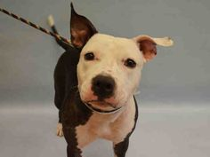SAFE 9-17-2015 --- Manhattan Center MAGPIE – A1051074  FEMALE, BLACK / WHITE, AM PIT BULL TER / STAFFORDSHIRE, 2 yrs STRAY – STRAY WAIT, NO HOLD Reason STRAY Intake condition EXAM REQ Intake Date 09/11/2015