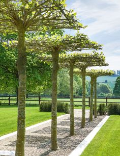 Cloud Tillia trees- creates a fantastic canopy under which you can readily walk