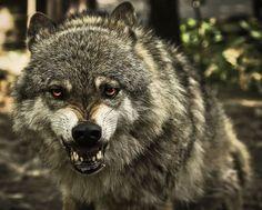 Wolfee