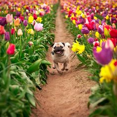Just A Pug In Tulips