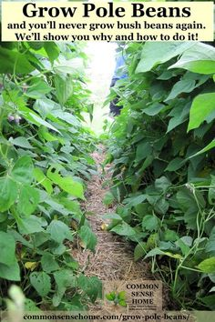 3 Reasons to grow pole beans instead of bush beans, step by step growing instruction, the best pole bean trellis and pole bean varieties, how to save seed. Bean Trellis, Garden Trellis, Pole Beans Trellis, Fruit Garden, Edible Garden, Veg Garden, Potager Garden, Garden Club, Garden Soil