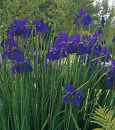 Iris sibirica 'Caesars Brother'.  Siberian Iris.  I love Siberian Irises.  Caesar's Brother is a classic, but there are many others that are just as lovely. Their upright, strappy foliage looks great all season, not melting and going brown like bearded iris does.  The deep violet flowers appear in June.  Remove spent flower stalks in summer.  Cut the wizened foliage down to the base in winter.  Plant in full-part sun in average soil.  A great plant for a wet area, as well.