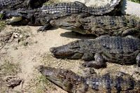 Ever seen so many crocodiles? The wet & wild Sundarbans is home to this species. Like/ Pinit if you're not scared National Parks Map, Kruger National Park, Mauritius, Crocodile Pictures, American Crocodile, Crocodile Animal, Wildlife Of India, Weird Names, Mangrove Forest
