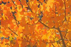 Google Image Result for http://cdn.c.photoshelter.com/img-get/I0000om6B8SankSA/s/850/850/IMG-6563-Aspen-Leaves-Fall-Color.jpg
