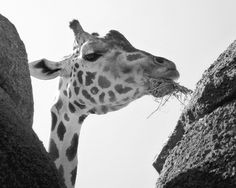 #Alphabet en 26 #photos : G comme #girafe