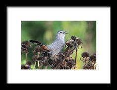 Happy Catbird Framed Print  by Karen Silvestri @karenibgb