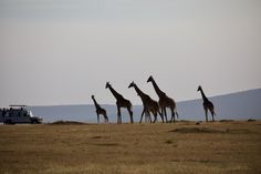 Explore the best of Kenya and Tanzania with this amazing adventure as the two iconic destinations are combined to bring affordability to your luxury safari. What better way to see the wildlife other than in teir natural habitat. From the Masai Mara to the Serengeti; this safari offers something for everyone. Click here when you're ready to go. #explorer #explorersafari #safari #africa #kenya #tanzania #serengeti #masaimara #wildlife #travel #exploreafrica #giraffe #affordable #africanbucketlist Tanzania, Kenya, National Museum, National Parks, Serengeti National Park, Mount Kilimanjaro, Famous Landmarks, Amazing Adventures, East Africa