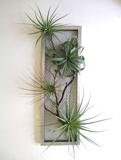 Cultiver les Tillandsia, filles de l'air - New Pins Succulent Wall, Succulent Gardening, Planting Succulents, Planting Flowers, Air Plant Display, Plant Decor, Air Plants, Indoor Plants, Decoration Plante