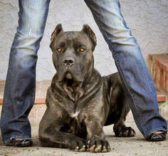 Cane Corso / This is an incredible photo. This breed is equally incredible if not more.