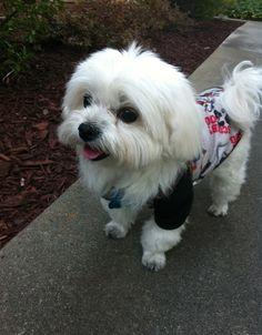 cutest maltese dog!