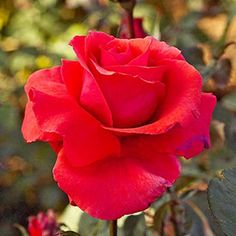 Fragrant Cloud  Your instincts are right if 'America' climbing rose reminds you of 'Fragrant Cloud'; this selection is one of America's parents. Like its offspring, it's an award winner that offers a captivating fragrance in its big coral-red blooms. 'Fragrant Cloud', however, is a vigorous hybrid tea with a lot of flower power.    Size: To 5 feet tall and wide    Zones: 5-9