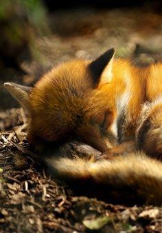 Sleepy baby fox