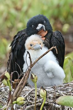 Frigate Bird (Male) and Chick Portrait at Darwin Bay, Genovesa, Galapagos Islands