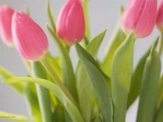 Free Spring Screensavers | pinktulipscloseup