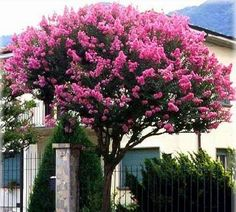 Lilac of India Crepe Myrtle Trees, Trees For Front Yard, Lagerstroemia, Lilac Bushes, Tree Seeds, Organic Seeds, Coral, Nature Tree, Backyard Farming