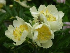 "Paeonia lactiflora Claire de Lune At/Co. - Kauppilasta 2012. Very Early Hybrid, single, pale yellow, a bright flower, crinkled and rounded at the edges, good cutflower, it belongs on the ""good"" list of well paid peony cutflowers (white, Wild & Son 1954). Kiinanpionin ja kaukasianpionin risteytys, sanotaan Pionien kodin nettisivuilla. ."