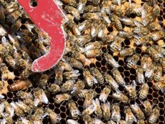 The Queen is much larger and just to the left of the pointer.