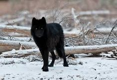 Image result for alpha male wolf walking