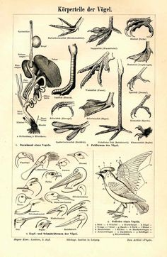 1894 bird feet original antique print by antiqueprintstore on Etsy